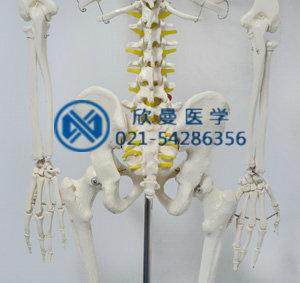 模型腰椎带尾骨部特征