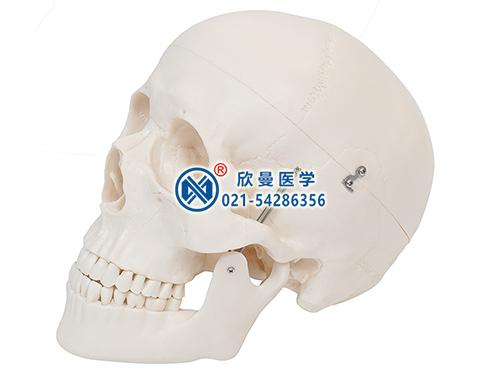 XM-116头颅骨模型