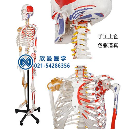 人体骨骼附关节韧带和肌肉起止点着色模型(侧面)