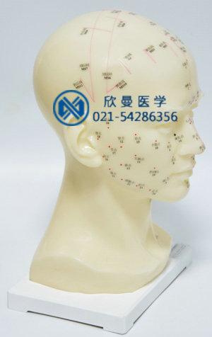 头针灸模型右侧结构