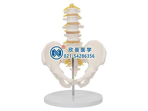 XM-132A骨盆带五节腰椎模型,骨盆模型,腰椎模型