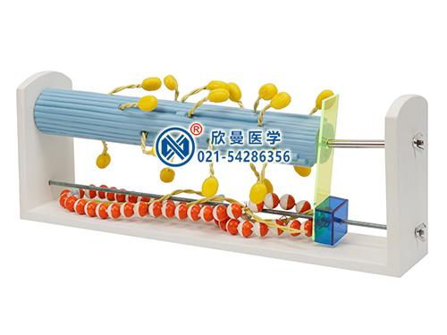 XM-171骨骼肌分子结构及收缩变化模型