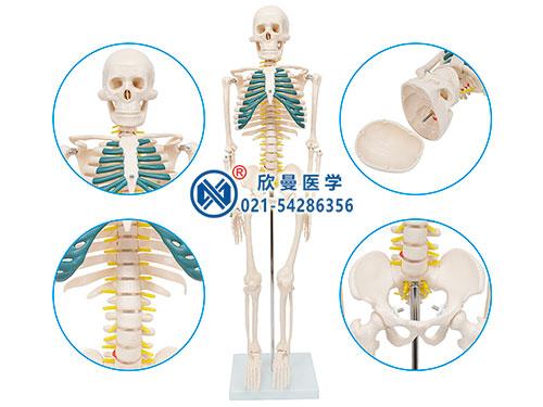 XM-105人体骨骼带神经模型