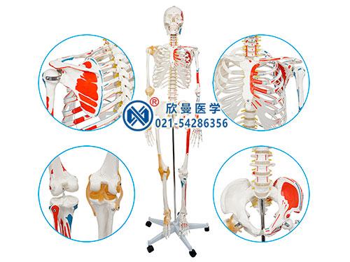 XM-107人体骨骼附半边肌肉着色附韧带模型