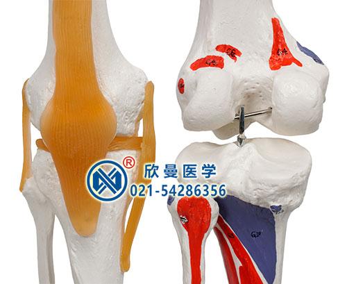 膝关节细节