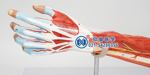 上肢肌肉模型细节