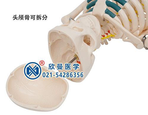人体骨骼带神经模型(头颅可拆卸)