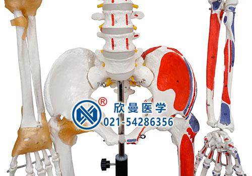 人体骨骼附关节韧带和肌肉起止点着色模型(骨盆细节)