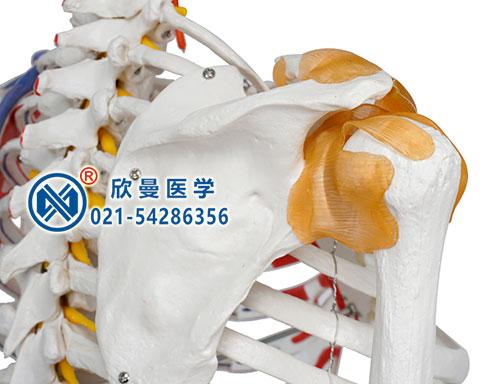 人体骨骼附关节韧带和肌肉起止点着色模型(肩关节)