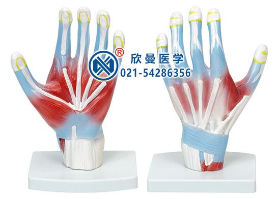 手掌解剖模型(示腕掌侧韧带)