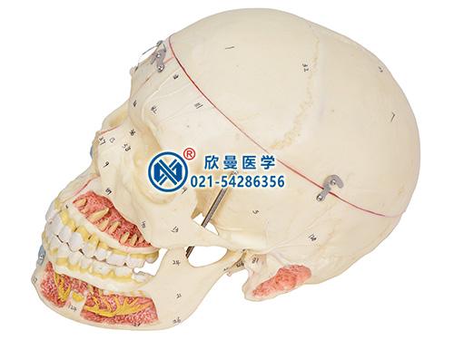XM-118头颅骨附血管神经模型