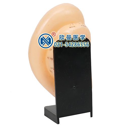 耳针灸穴位模型
