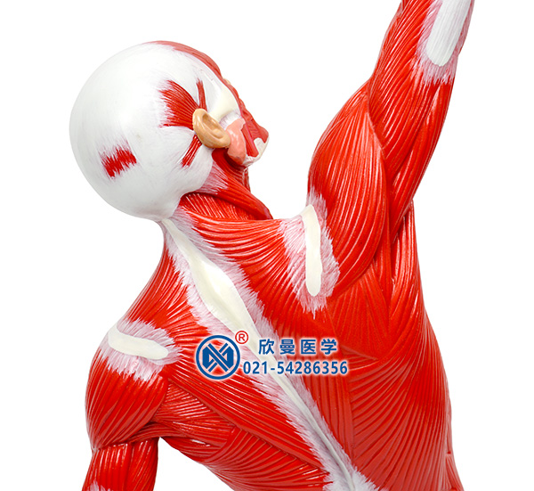 人体全身肌肉运动模型背部肌肉