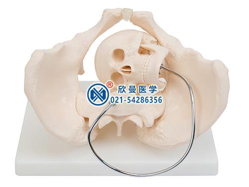 XM-131D骨盆含胎儿头颅骨模型