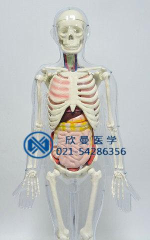 人体体表、人体骨骼与内脏关系模型整体结构