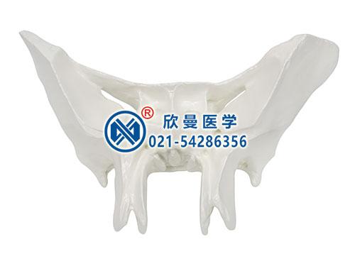 XM-153蝶骨模型,蝶骨放大模型