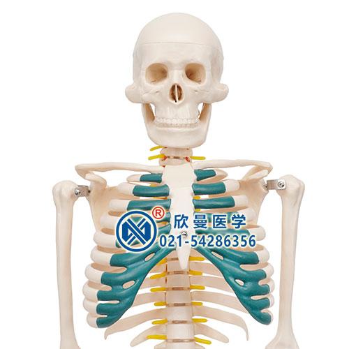 人体骨骼带神经模型1