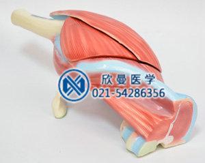 髋肌模型侧面结构