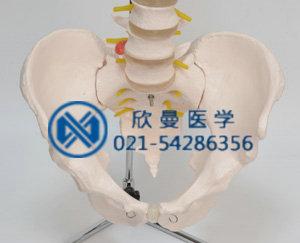 模型骨盆部位结构特征