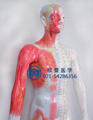 模型胸腹部穴位