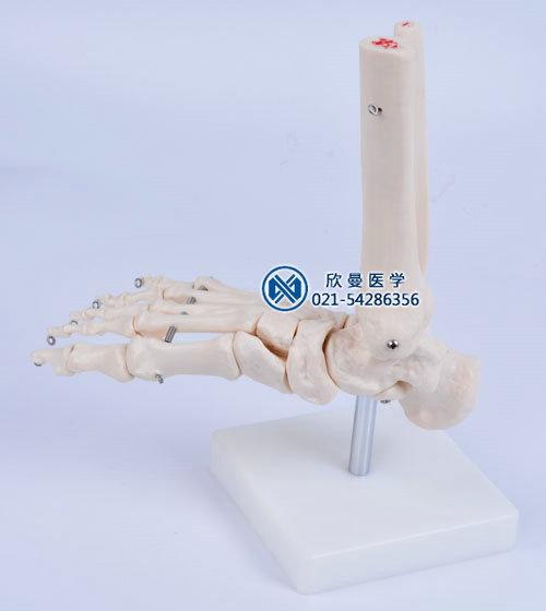 足骨模型结构