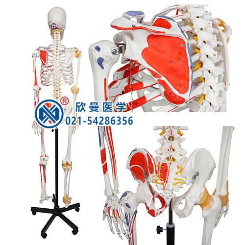人体骨骼附关节韧带和肌肉起止点着色模型(背面)