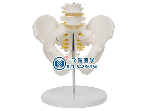 XM-132骨盆带腰椎模型,骨盆模型,腰椎模型