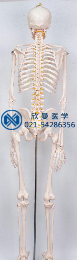 人体骨骼模型背部结构