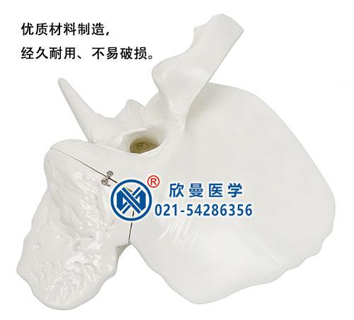 颞骨解剖模型