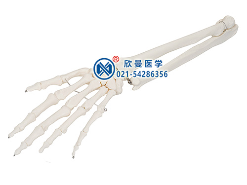 XM-152手掌骨带尺骨和桡骨模型