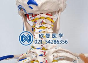 人体骨骼附半边肌肉着色附韧带模型颈椎结构