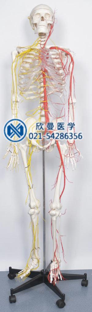 人体骨骼附动脉和神经分布模型整体结构