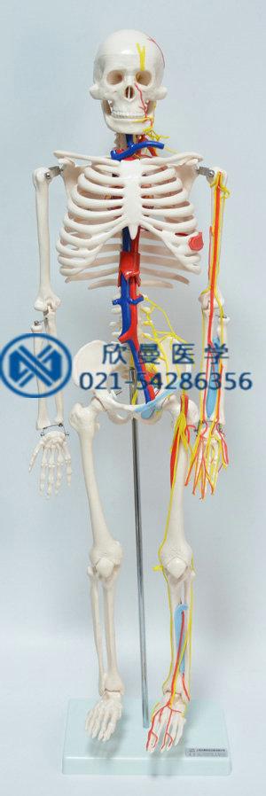 人体骨骼附主要动脉和神经分布模型正面结构
