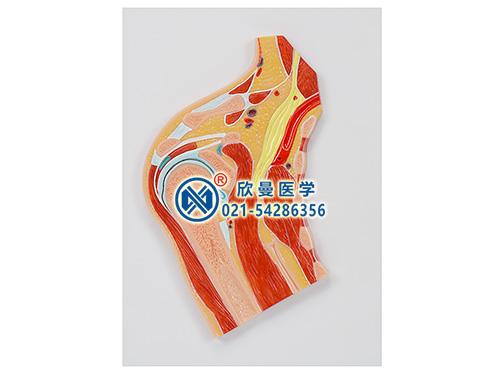 肩关节剖面模型