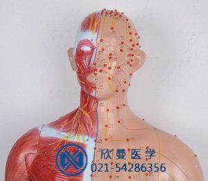 语言提示十四电动针灸模型头面部特征