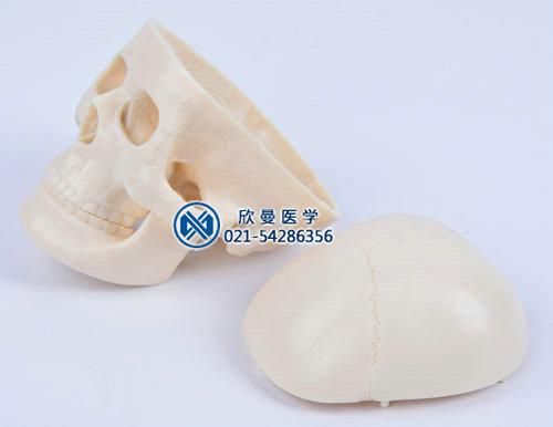 新生儿头颅骨模型可分解为2部件