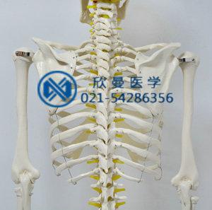 模型背部结构