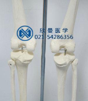 模型膝关节部特征
