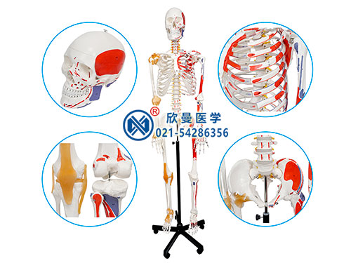 XM-111人体骨骼附关节韧带和肌肉起止点着色模型