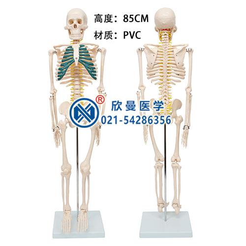 人体骨骼带神经模型
