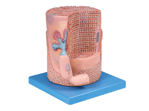 骨骼肌纤维与运动终板放大模型正面结构