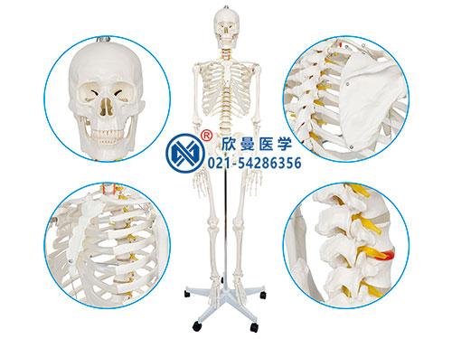 XM-102女性人体骨骼模型,女性全身人体骨骼模型