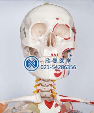 人体骨骼附半边肌肉着色附韧带模型头颅骨结构