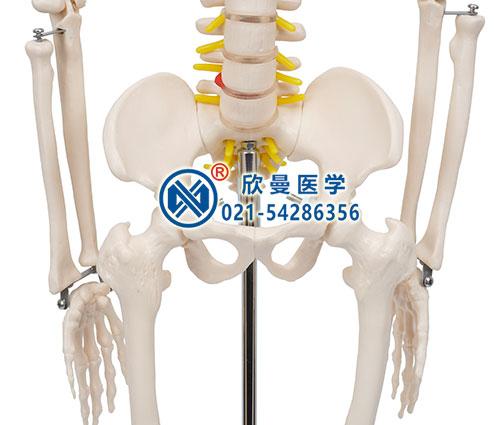 人体骨骼带神经模型骨盆细节