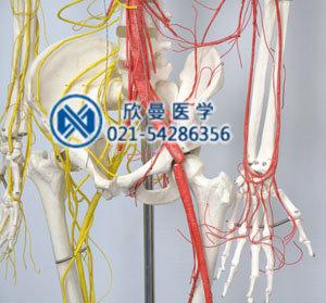 人体骨骼附动脉和神经分布模型骨盆处血管神经分布