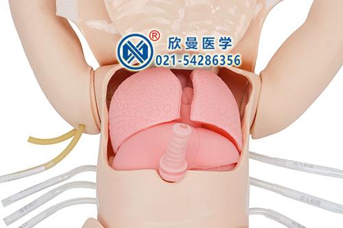 胸腹腔重要器官结构观察