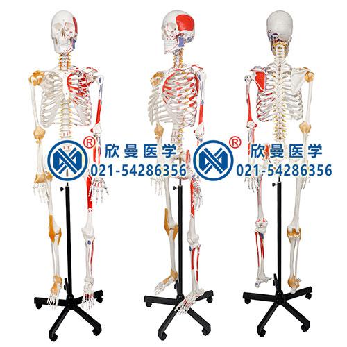 人体骨骼附关节韧带和肌肉起止点着色模型