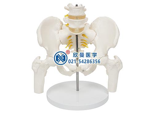 XM-133骨盆附腰椎与股骨头模型,骨盆附腰椎与半腿骨模型