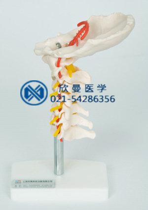 颈椎带颈动脉模型左侧面结构特征