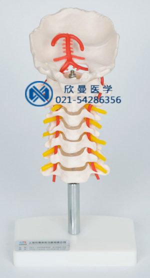 颈椎模型整体结构特征